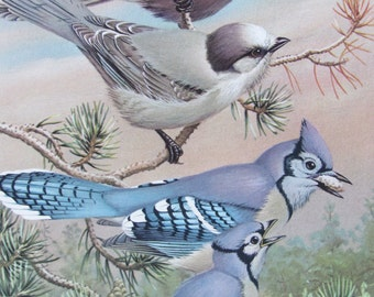 Gray Jay, Blue Jay, 1968 Vintage Book Plate, Book Page, Bird Print, North American Species