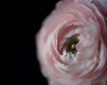 Ranunculus Study No 2 , color flower photograph, low key