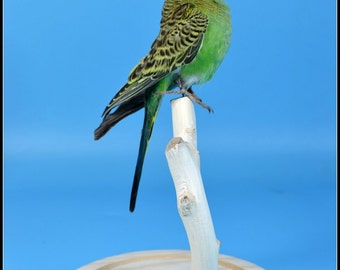 Mature ,taxidermy of parakeet budgerigar color birds  mounted in glass dome Free shipping ,cool gift E#