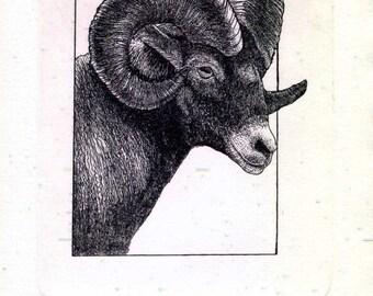 Big Horn Sheep