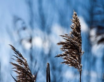 Grass photography, Blue and Gold, Nature photography, Botanical print, Minimalist art, Macro photography, Rustic home décor
