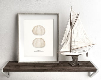 Coastal Decor - Two Sea Urchin Sea Shells Nautical Giclee Art Print 8x10