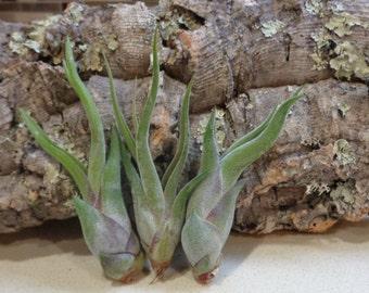 25 Mini Tillandsia Caput Medusae  Wholesale Tillandsia Air Plants