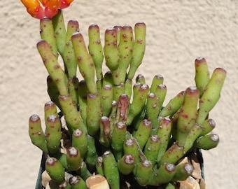 Large Dancing Bones Cactus Cluster-Hatiora Salicornioides