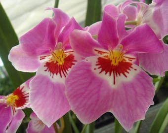 Miltoniopsis Woody Carlson orchid a beautiful pink, seedling size FREE SHIPPING