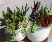 Playful & Fun - 2 Amigos Garden with Echeveria, Muscosa, Sempervivum, Sedum and Haworthia Plants in Conjoined Planter