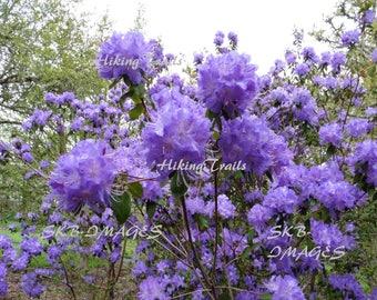 Violet Magnolia Blooms, DIGITAL DOWNLOAD,  blooming tree, flower art, violet floral decor, floral wall art, Fine Art Photography