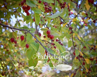 Digital Download {Red Aronia} Nature Photograph