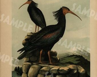 Original antique bird print large folio natural history Chromolithograph decorative art wall art 1890's GLOSSY IBIS-SICHLE