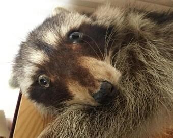 Ricky The Raccoon