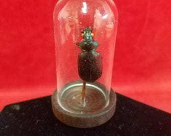 TAXIDERMY BEETLE in  Miniature Glass Dome Display --bug, insect, creepy-entomology