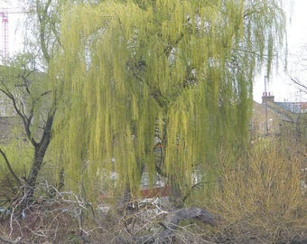 Weeping Willow Tree Etsy