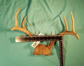 Deer Antler - Full Rack - 8 Point - Real Horn - NR2010