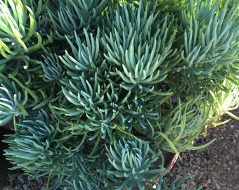 Bush Blue Pickle Senicio vitalis Succulent Plant, Long Multi fingered leaves, grows to approx. 3 feet tall.