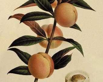 Peach Vintage fruit print Botanical Prints Home Decor Wall Art Victorian art Garden Wall Art antique prints French prints fruit wall art