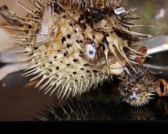 Dried Porcupine Puffer Fish, Puffer Fish, Dried Fish, Blowfish, Large Blowfish, Nautical Decor, Puffer, Fish, Nautical