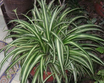 "Variegated Spider Plant - Easy to Grow - Cleans the Air - 4"" Pot"