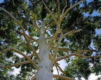 Eucalyptus Rose Gum Tree Seeds (Eucalyptus grandis) 100+Seeds