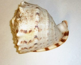 Vintage Genuine Sea Shell Large Conch Whelk Ocean Beach Home Decor Wedding Event Decor