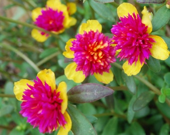 Rare Cinderella Fairy Tale Purslane  - Beautiful Pink & Yellow Flowers - Miniature Fairy Garden Plant