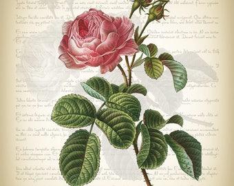 Botanical Art Print - Vintage Botanical Print - Rosa Centifolia Illustration Print - Redoute Botanical Print - Provence Rose Art Print