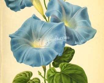 flowers-29530 - ipomoea blue flower digital illustration graphics design flavor floral botanical scan book page paper clipart antique image