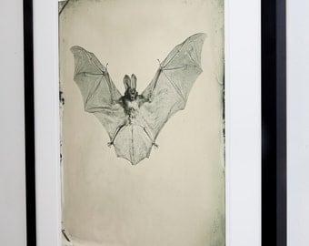 Framed and Signed Bat Pigment print