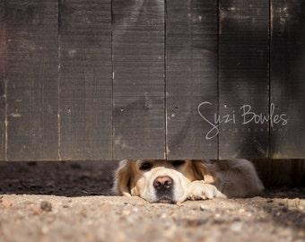 Golden Retriever photo, Dog lovers gift, Dog print, animal wall art: Peekaboo pet