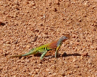 Gekko Lizard in Desert of New Mexico Color Change Green Orange Southwestern Reptile Western Home Office Decor