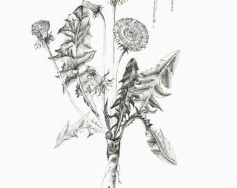 Dandelion dandelion Botanical prints botanical Drawing art print