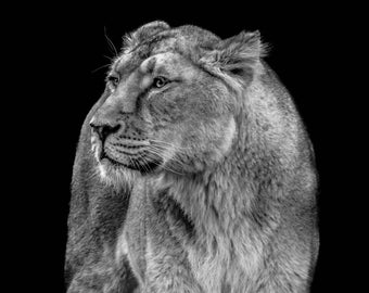 Lioness Light Print
