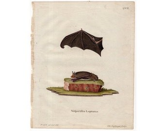 1775 BAT ANTIQUE ENGRAVING print original antique hand colored print - vespertilio lepturus - by Schreber
