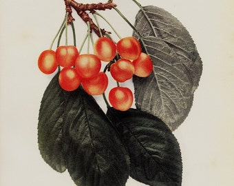 1900 Antique BOTANICAL print. Cherry print, fruit tree print, botanical illustration