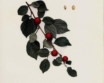 1900 Antique BOTANICAL print. Nanking cherry print, fruit tree print, botanical illustration, Korean cherry, Manchu cherry, mountain cherry