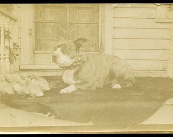 Bull Terrier DOG with BABY DUCKS in Adorable Photo Postcard circa 1910