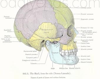 1940's Skull Human Anatomy Original Vintage Print
