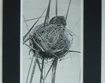 1950s Vintage Harvest Mouse Print, Old Rural Decor, Available Framed, Mice Art, Wheat Field Nature Picture, Nest Wall Art, Wheatfield Gift