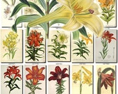 LILIES-5 flowers Collection of 230 vintage images lilium Mount Neilgerry Lily picture High resolution digital download printable iconography