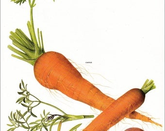 carrot carrots garden vegetable vintage botanical art print gardening gift food kitchen decor by Marilena Pistoia 8 x 11 1/4 inches