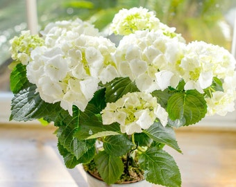 White Hydrangea Potted Plant Gift Wrapped | Fresh Hydrangea Plant With Pot| Mother's Day Gift | UK Florist & Fast Delivery
