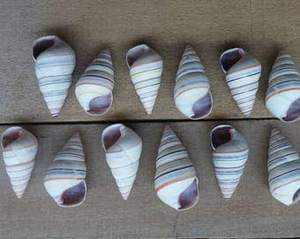 "1"" - 2"" Tree Snail, 12 Pieces"