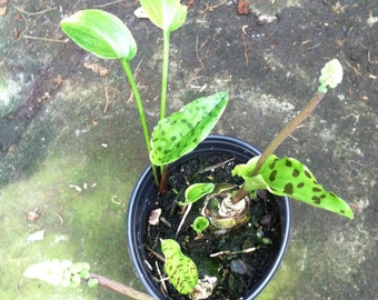 Drimiopsis maculata (Little White Soldiers)-(Mottled-Leaved  Mystery Bulb)- live plant