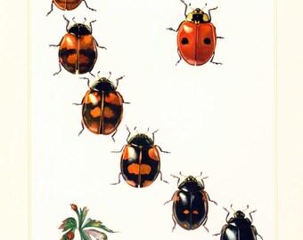 1960 Vintage Ladybug Print. Illustration Ladybird. Insect. Entomology. Natural History. Science.