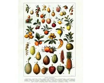 1933 Vintage Culinary Fruit Antique  Botanical Chart print. Authentic Framable Art. Larousse
