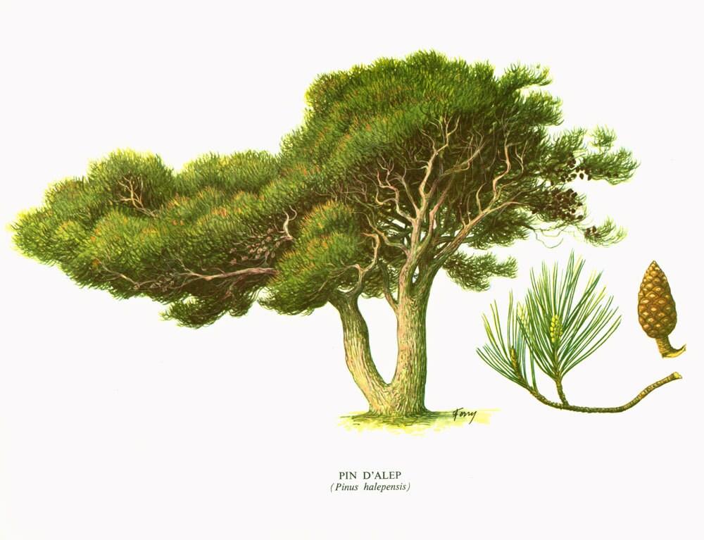 1967 pin d 39 alep planche botanique arbres forets coniferes. Black Bedroom Furniture Sets. Home Design Ideas