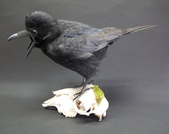 TAXIDERMY Carrion Crow (no.9238) Corvus corone. Perched On Sheep Skull. Raven Family.