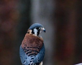 Photo Print: Kestrel Falcon II