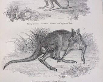 1891 Marsupials - Potoroo, Kangaroo, Wombat Original Antique Steel Engraving Encyclopaedia Illustration - Wildlife wall decor - home decor