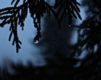 Dusk Cedar Droplet Photo Print;  Forest Photography, Nature Photography, Outdoor Photography, Winter Photography, Dusk || PHYSICAL PRINT