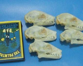 Taxidermy real bats skull lots 5 pcs Rousette leschenaulti